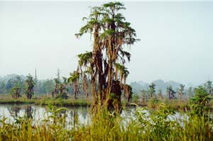 Alabama Swamp